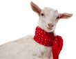 funny goat isolated on a white background