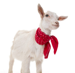 a funny goat on a white background