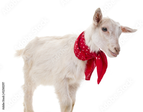 funny goat on a white background