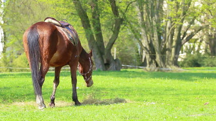 Tamed horse behind the fence feeding on green grass