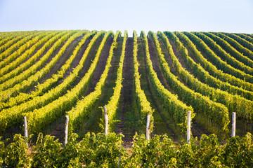 Horizontal shot of central european vineyard