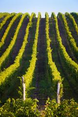 Vertical shot of central european vineyard