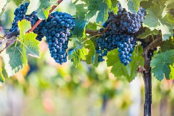 Red vine grapes ready for harvestation
