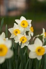 Yellow daffodils flowers in garden