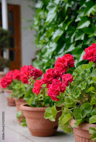red geranium for home decoration