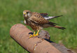 Common kestrel preparing to fly