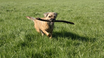 scruffy little dog running with stick