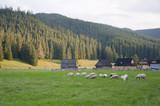 Sheep in the meadow - Chochołów, Zakopane - 52169850
