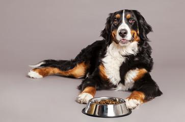 Bernard Sennenhund with Food Bowl at Studio
