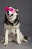 Siberian Husky Studio Portrait with Funky Pink Glasses
