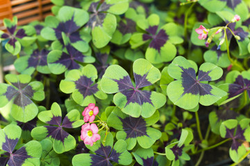 Oxalis . Close up of four leaf clover