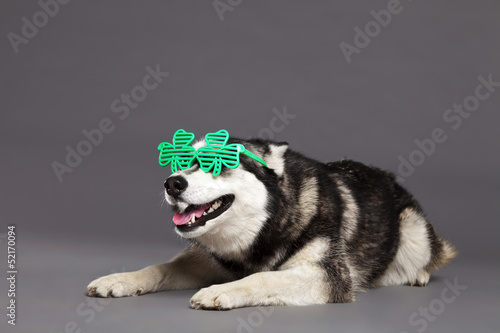 Siberian Husky Studio Portrait with Green Clover Glasses