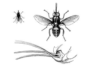 Fly : Tsetse - Mouche Tsé-Tsé