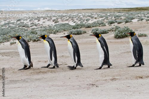king penguins walking in a row