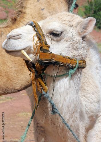 Fototapeten,afrika,afrikanisch,agressivität,morocco