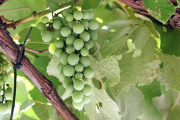 Grappolo d'uva verde
