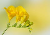 Yellow freesia on yellow and green background