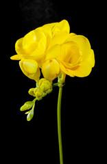 Yellow freesia flower on a black background