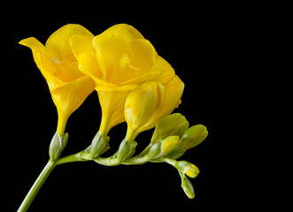 Yellow freesia on a black background