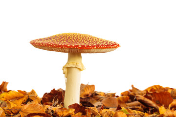 Fly agaric mushroom with autumn leaves isolated on white
