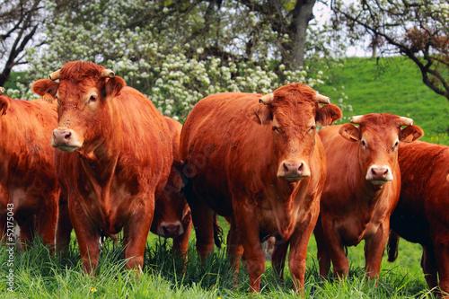 Papiers peints Vache vache