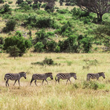Four zebras walking in Serengeti