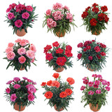 Collection Flower Garofanini new