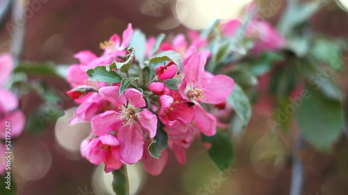 Apple tree flowers, close up