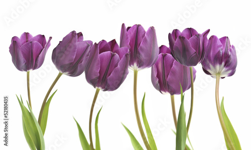 Fridge magnet tulipany