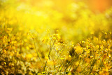 canola flower, rape crop, background