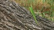 Sand lizard male basking in the sun, long shot
