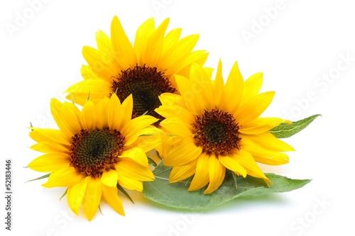 Plexiglas Zonnebloemen ヒマワリの花