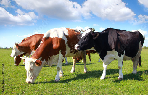 Foto op Canvas Koe Cows grazing on pasture