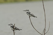 Two Pied Kingfishers