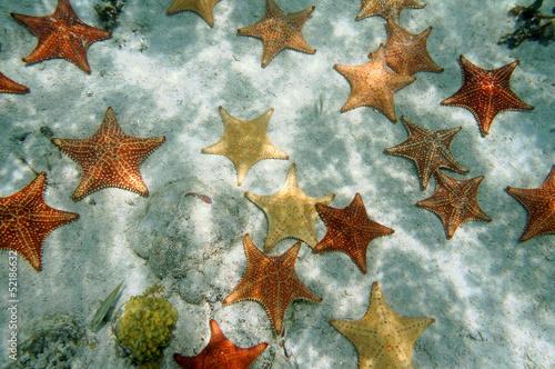 Leinwanddruck Bild Many Cushion starfish underwater on sandy ocean floor, Atlantic, Bahamas