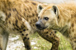 Hyenas Ready to Attack