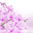 light pink orchids with reflection