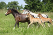 Mares and foals running on pasturage