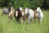 Batch of welsh ponnies running together on pasturage