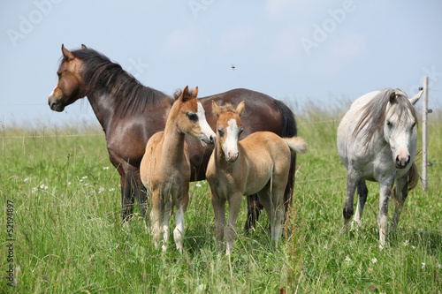 Two mares with two foals