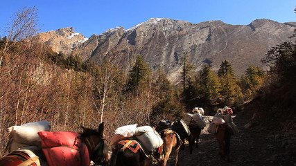 Transportation of goods on mules in Himalayas.