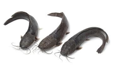 Fresh raw catfish