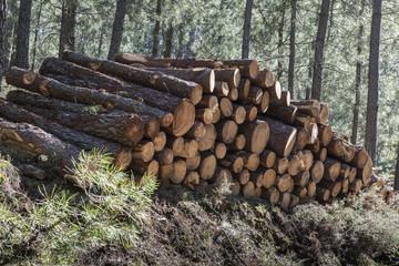 Tala masiva de árboles para la industria papelera