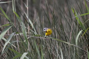 Yellow watgail