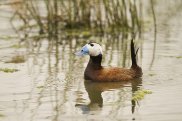 White-headed Duck swimming on a spanish lake