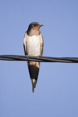 Portrait of a Barn Swallow perched on a wire