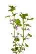 Gundelrebe (Glechoma hederacea) gerade vor weißem Hintergrund