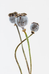 Fruit of a flower of opium poppy