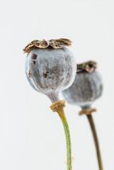Fruit of a flower of opium poppy