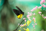 Common birdwing butterfly feeding on coral vine flower